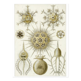 Ernst Haeckel Art Postcard: Phaeodaria