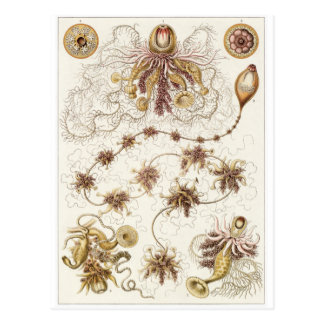 Ernst Haeckel Art Postcard: Siphonophorae
