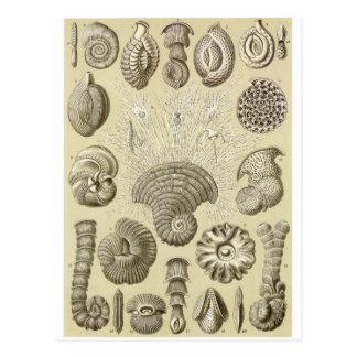 Ernst Haeckel Art Postcard: Thalamophora
