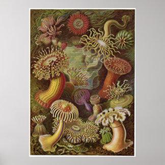 Ernst Haeckel Art Print: Actiniae Poster