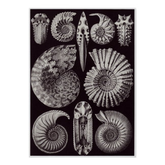 Ernst Haeckel Art Print: Ammonitida Poster