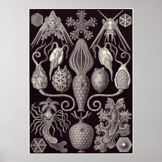 Ernst Haeckel Art Print: Amphoridea Poster