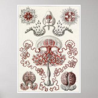 Ernst Haeckel Art Print: Anthomedusae