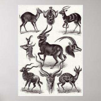 Ernst Haeckel Art Print: Antilopina Poster