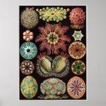 Ernst Haeckel Art Print: Ascidiae