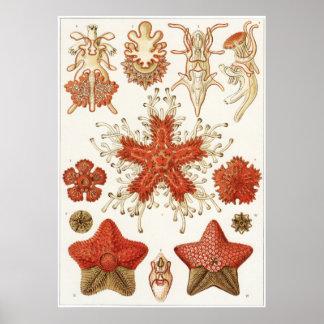 Ernst Haeckel Art Print: Asteridea Poster