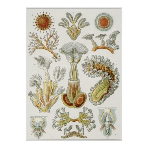 Ernst Haeckel Art Print: Bryozoa Poster