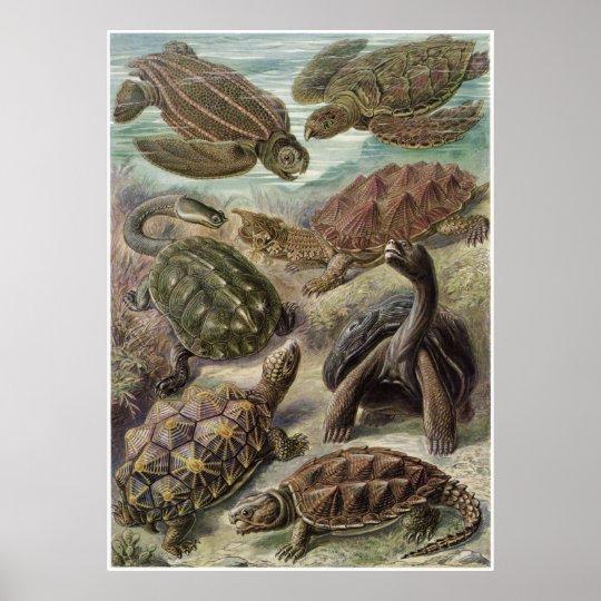 Ernst Haeckel Art Print: Chelonia Poster