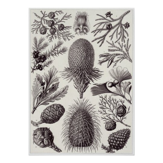 Ernst Haeckel Art Print: Coniferae Poster