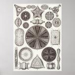 Ernst Haeckel Art Print: Diatomea Poster