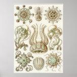 Ernst Haeckel Art Print: Narcomedusae Poster