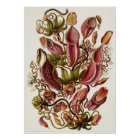 Ernst Haeckel Art Print: Nepenthaceae Poster