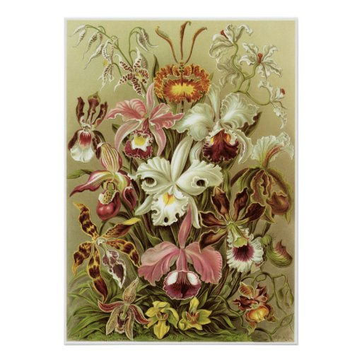 Ernst Haeckel Art Print: Orchidae Poster