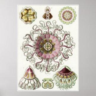 Ernst Haeckel Art Print: Peromedusae