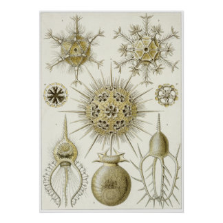 Ernst Haeckel Art Print: Phaeodaria (Phaeodarea)