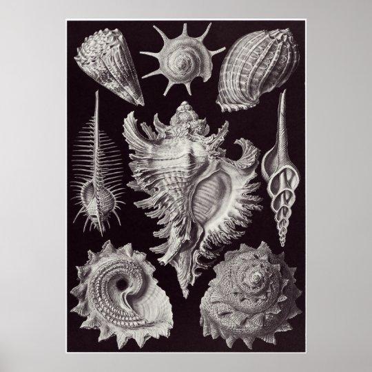 Ernst Haeckel Art Print: Prosobranchia Poster