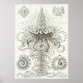 Ernst Haeckel Art Print: Siphonophorae