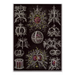 Ernst Haeckel Art Print: Stephoidea