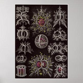 Ernst Haeckel Art Print: Stephoidea Poster