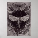 Ernst Haeckel Art Print: Tineida Poster