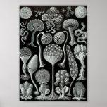 "Ernst Haeckel Art Sea Life 11"" x 8.5 Poster"