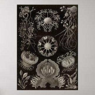Ernst Haeckel - Ascomycetes Poster