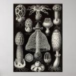 Ernst Haeckel - Basimycetes Mushrooms Poster
