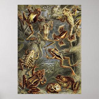 Ernst Haeckel - Batrachia Frogs Poster