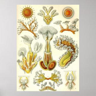 Ernst Haeckel - Bryozoa Poster