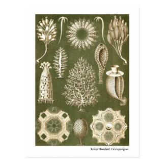 Ernst Haeckel Calcispongiae Postales