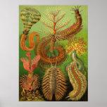 Ernst Haeckel - Chaetopoda Impresiones
