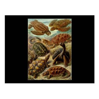 Ernst Haeckel Chelonia Postcard
