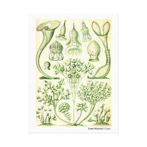 Ernst Haeckel Ciliata Canvas Print
