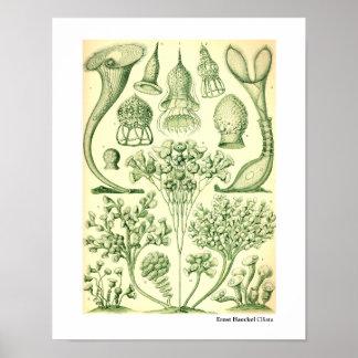 Ernst Haeckel Ciliata Poster