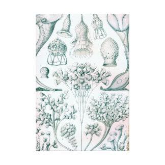 Ernst Haeckel Ciliata Wrapped Canvas Art