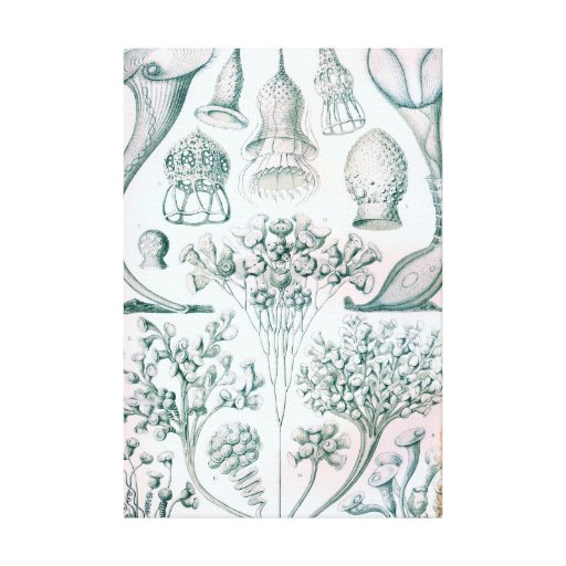 Ernst Haeckel Ciliata Wrapped Canvas Art