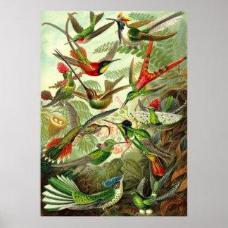 Ernst Haeckel - colibríes del Trochilidae Posters