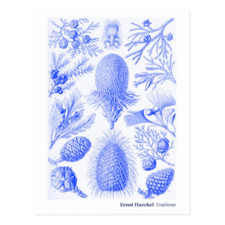 Ernst Haeckel Coniferae Blue and White Postcard