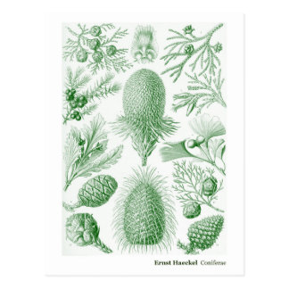 Ernst Haeckel Coniferae Green and White Postcard
