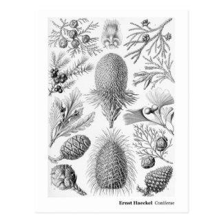 Ernst Haeckel Coniferae Postcard
