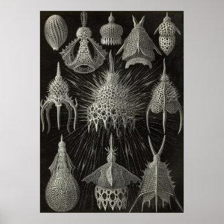Ernst Haeckel - Cyrtoidea Poster