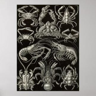 Ernst Haeckel - decápodos Póster