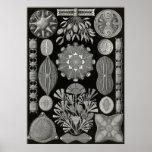 Ernst Haeckel - Diatomea2 Impresiones
