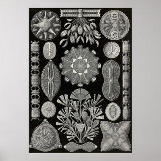 Ernst Haeckel - Diatomea2 Poster