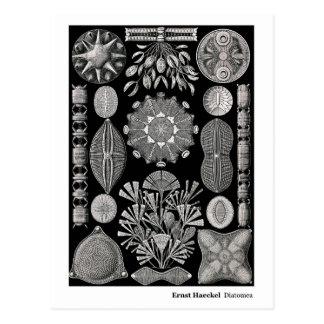 Ernst Haeckel Diatomea Postal