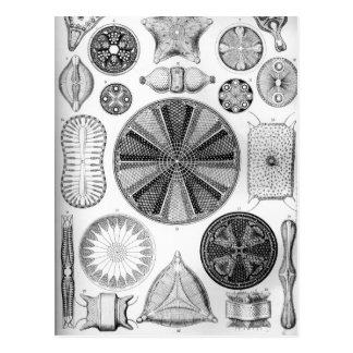 Ernst Haeckel Diatomea Postcard