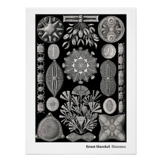Ernst Haeckel Diatomea Póster