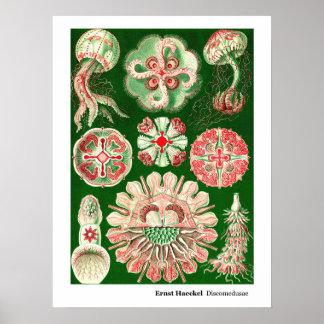 Ernst Haeckel Discomedusae (Aurelia) Poster