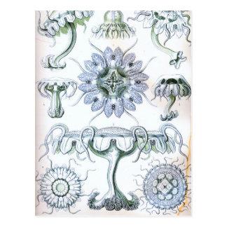 Ernst Haeckel Discomedusae Jellyfish Postcard