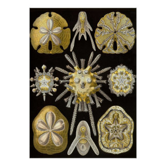 Ernst Haeckel - Echinidea Poster